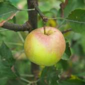 apple15913